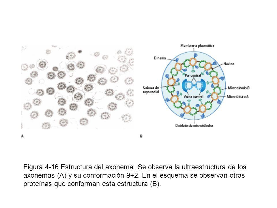 Figura 4-16 Estructura del axonema. Se observa la ultraestructura de los axonemas (A) y su conformación 9+2. En el esquema se observan otras proteínas
