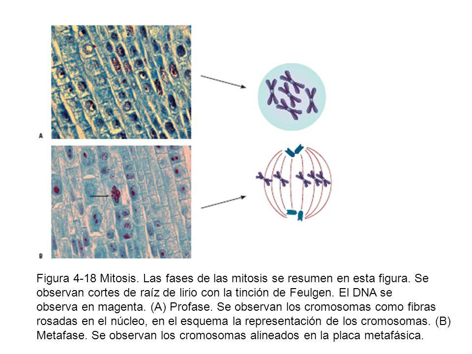 Figura 4-18 Mitosis. Las fases de las mitosis se resumen en esta figura. Se observan cortes de raíz de lirio con la tinción de Feulgen. El DNA se obse