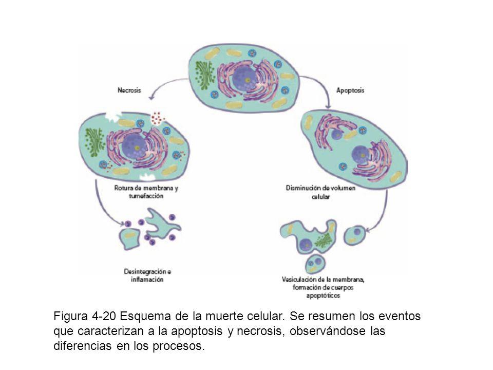 Figura 4-20 Esquema de la muerte celular. Se resumen los eventos que caracterizan a la apoptosis y necrosis, observándose las diferencias en los proce