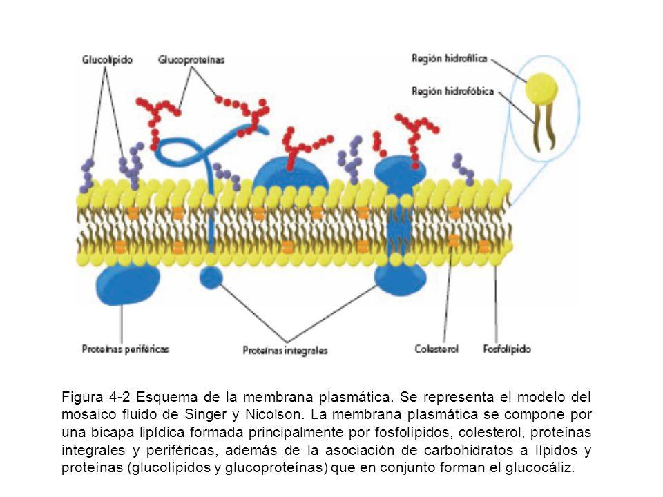 Figura 4-2 Esquema de la membrana plasmática. Se representa el modelo del mosaico fluido de Singer y Nicolson. La membrana plasmática se compone por u