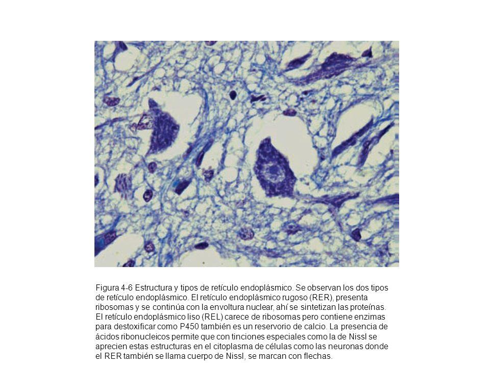 Figura 4-6 Estructura y tipos de retículo endoplásmico. Se observan los dos tipos de retículo endoplásmico. El retículo endoplásmico rugoso (RER), pre