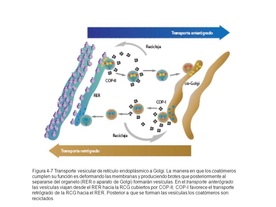 Figura 4-7 Transporte vesicular de retículo endoplásmico a Golgi. La manera en que los coatómeros cumplen su función es deformando las membranas y pro