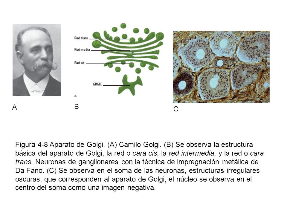 A B C Figura 4-8 Aparato de Golgi. (A) Camilo Golgi. (B) Se observa la estructura básica del aparato de Golgi, la red o cara cis, la red intermedia, y