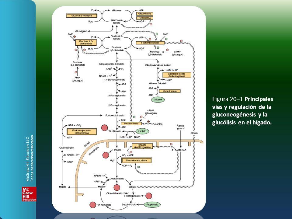 Figura 20–1 Principales vías y regulación de la gluconeogénesis y la glucólisis en el hígado. McGraw-Hill Education LLC Todos los derechos reservados.