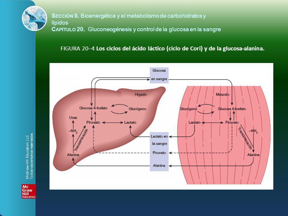 FIGURA 20–4 Los ciclos del ácido láctico (ciclo de Cori) y de la glucosa-alanina. S ECCIÓN II. Bioenergética y el metabolismo de carbohidratos y lípid