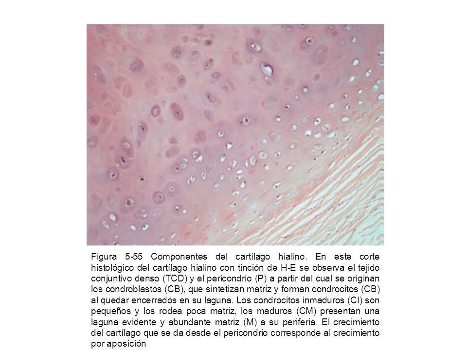 Figura 5-55 Componentes del cartílago hialino. En este corte histológico del cartílago hialino con tinción de H-E se observa el tejido conjuntivo dens