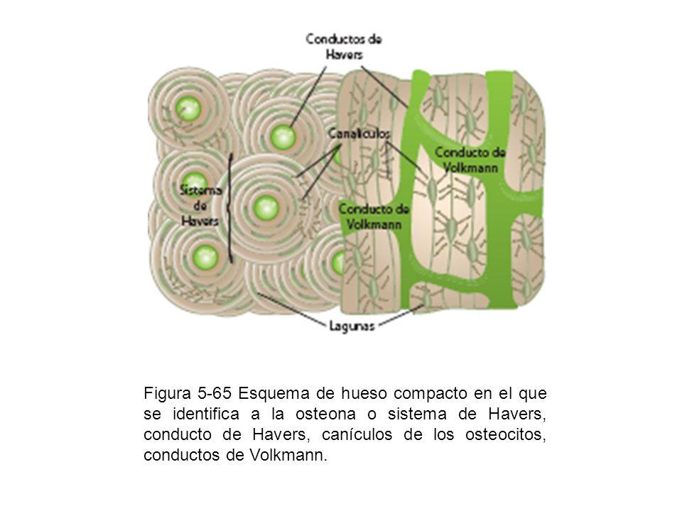 Figura 5-65 Esquema de hueso compacto en el que se identifica a la osteona o sistema de Havers, conducto de Havers, canículos de los osteocitos, condu