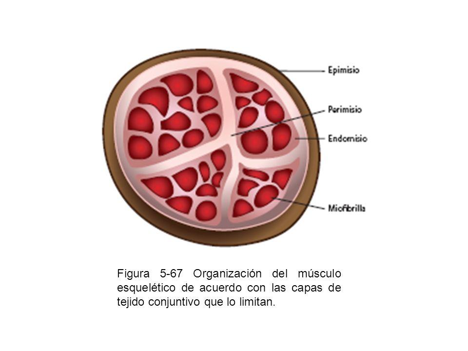 Figura 5-67 Organización del músculo esquelético de acuerdo con las capas de tejido conjuntivo que lo limitan.