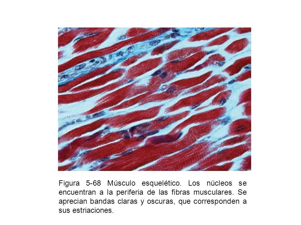 Figura 5-68 Músculo esquelético. Los núcleos se encuentran a la periferia de las fibras musculares. Se aprecian bandas claras y oscuras, que correspon