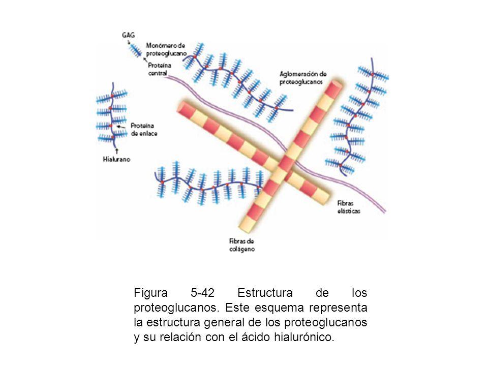 Figura 5-42 Estructura de los proteoglucanos. Este esquema representa la estructura general de los proteoglucanos y su relación con el ácido hialuróni