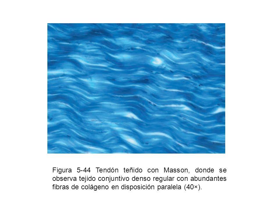 Figura 5-44 Tendón teñido con Masson, donde se observa tejido conjuntivo denso regular con abundantes fibras de colágeno en disposición paralela (40×)