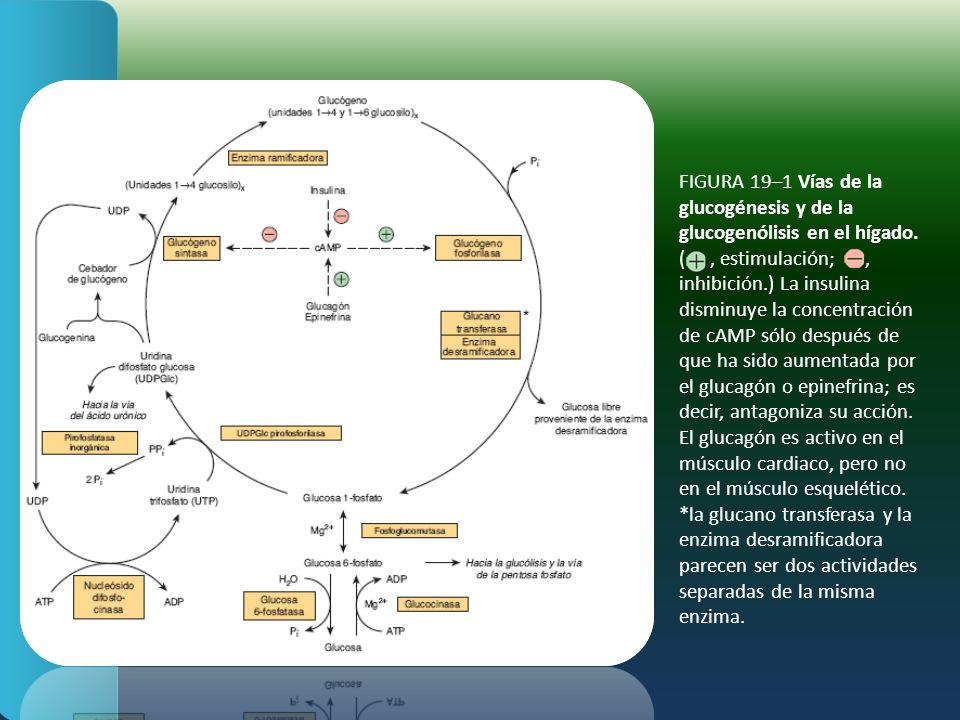 FIGURA 19–1 Vías de la glucogénesis y de la glucogenólisis en el hígado. (, estimulación;, inhibición.) La insulina disminuye la concentración de cAMP