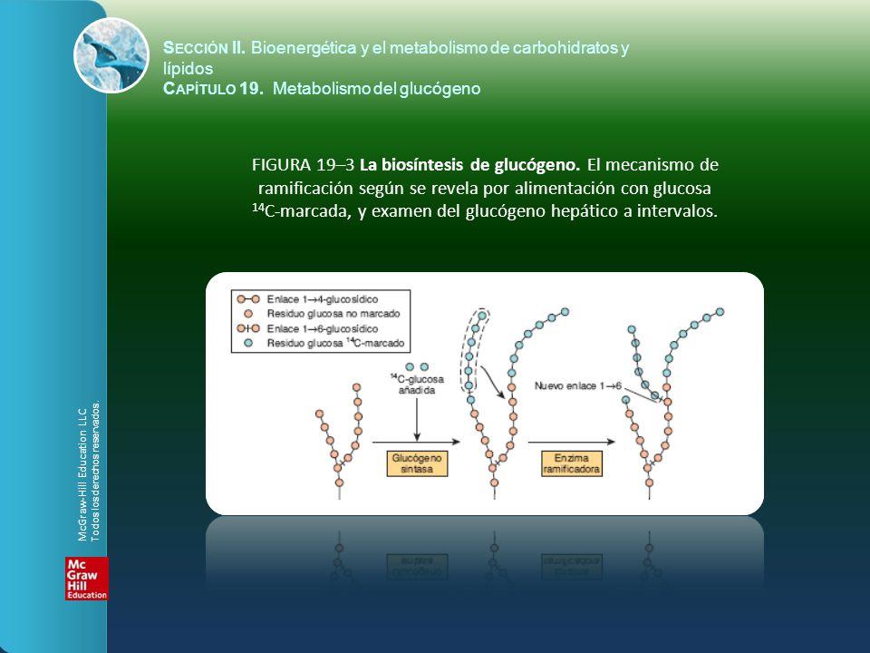 S ECCIÓN II. Bioenergética y el metabolismo de carbohidratos y lípidos C APÍTULO 19. Metabolismo del glucógeno FIGURA 19–3 La biosíntesis de glucógeno