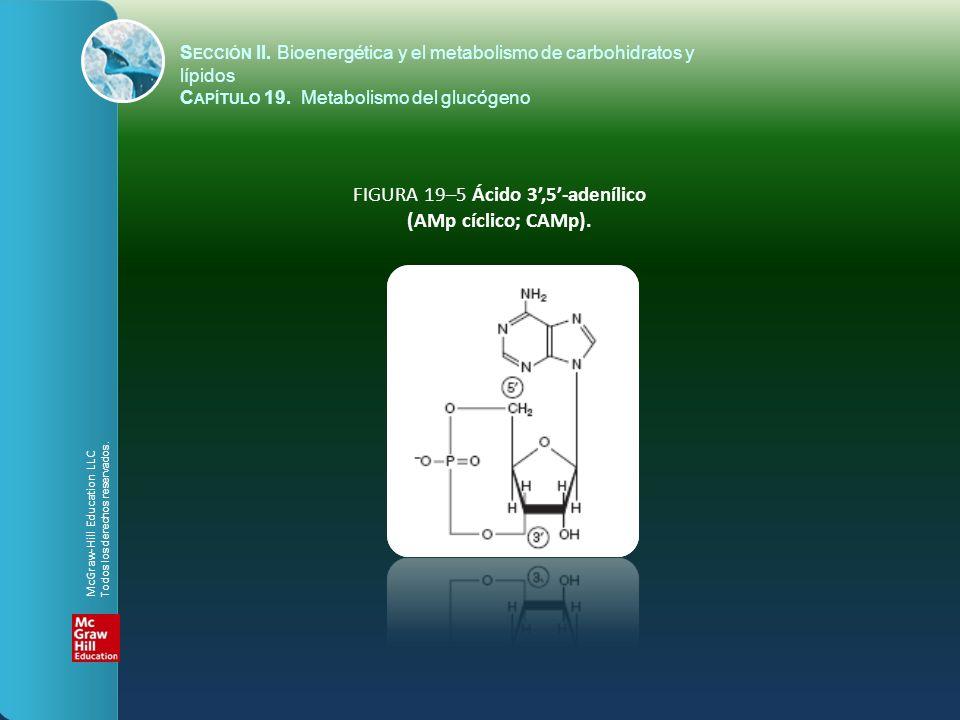FIGURA 19–5 Ácido 3,5-adenílico (AMp cíclico; CAMp). S ECCIÓN II. Bioenergética y el metabolismo de carbohidratos y lípidos C APÍTULO 19. Metabolismo