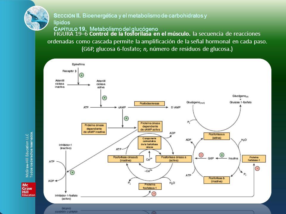 FIGURA 19–6 Control de la fosforilasa en el músculo. la secuencia de reacciones ordenadas como cascada permite la amplificación de la señal hormonal e