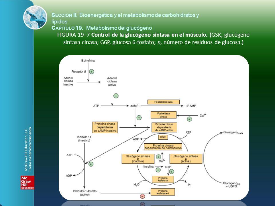 FIGURA 19–7 Control de la glucógeno sintasa en el músculo. (GSK, glucógeno sintasa cinasa; G6P, glucosa 6-fosfato; n, número de residuos de glucosa.)