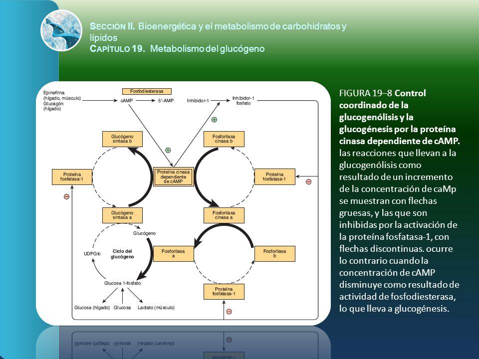 FIGURA 19–8 Control coordinado de la glucogenólisis y la glucogénesis por la proteína cinasa dependiente de cAMP. las reacciones que llevan a la gluco
