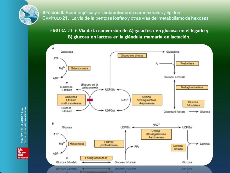 FIGURA 21–6 Vía de la conversión de A) galactosa en glucosa en el hígado y B) glucosa en lactosa en la glándula mamaria en lactación. S ECCIÓN II. Bio