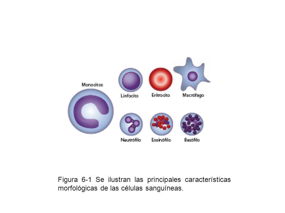 Figura 6-1 Se ilustran las principales características morfológicas de las células sanguíneas.