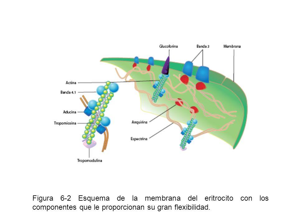 Figura 6-3 Se observa en el centro un neutrófilo, con sus lóbulos nucleares (3-5), rodeado de eritrocitos.