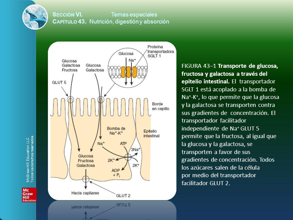 S ECCIÓN VI.Temas especiales C APÍTULO 43. Nutrición, digestión y absorción FIGURA 43–1 Transporte de glucosa, fructosa y galactosa a través del epite