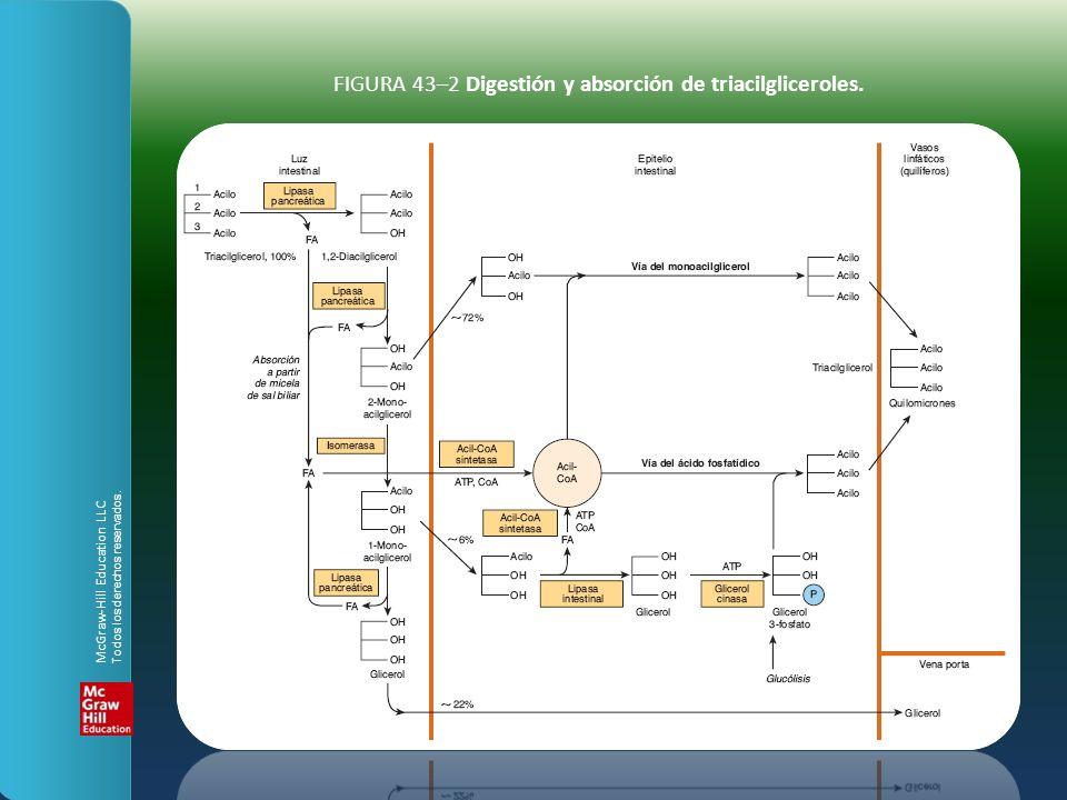 FIGURA 43–2 Digestión y absorción de triacilgliceroles. McGraw-Hill Education LLC Todos los derechos reservados.