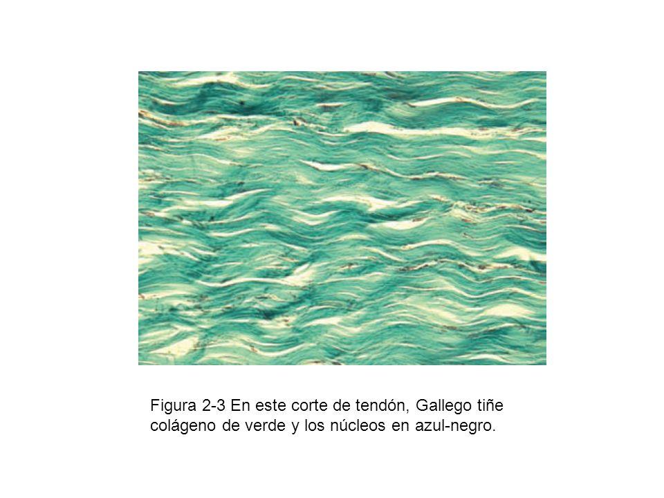 Figura 2-3 En este corte de tendón, Gallego tiñe colágeno de verde y los núcleos en azul-negro.