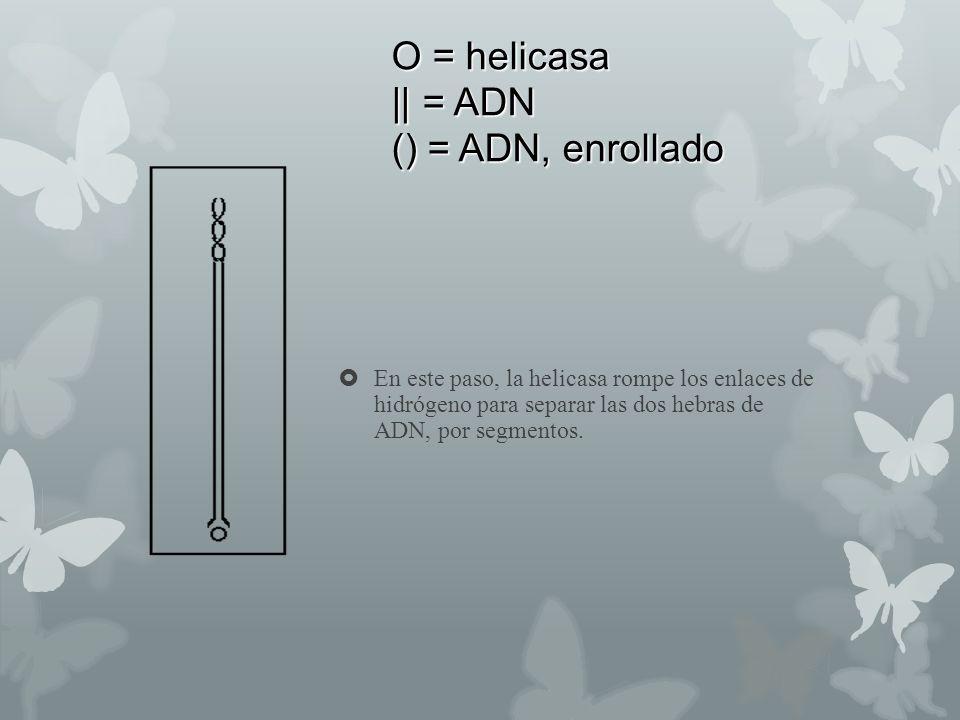 O = helicasa || = ADN () = ADN, enrollado En este paso, la helicasa rompe los enlaces de hidrógeno para separar las dos hebras de ADN, por segmentos.