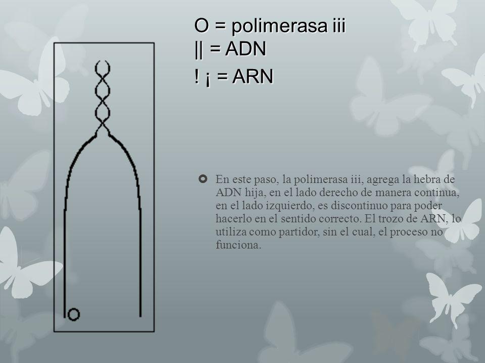 O = polimerasa iii || = ADN ! ¡ = ARN En este paso, la polimerasa iii, agrega la hebra de ADN hija, en el lado derecho de manera continua, en el lado