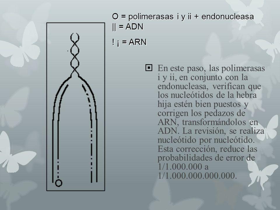 O = polimerasas i y ii + endonucleasa || = ADN ! ¡ = ARN En este paso, las polimerasas i y ii, en conjunto con la endonucleasa, verifican que los nucl