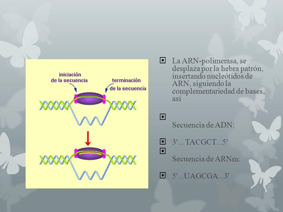 La ARN-polimerasa, se desplaza por la hebra patrón, insertando nucleótidos de ARN, siguiendo la complementariedad de bases, así Secuencia de ADN: 3'..