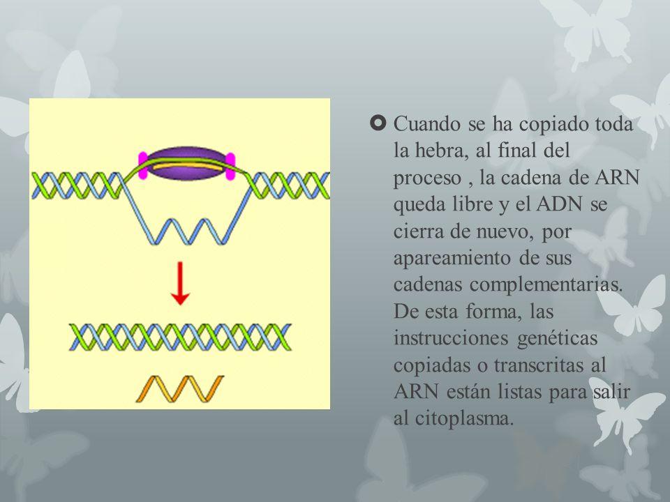 Cuando se ha copiado toda la hebra, al final del proceso, la cadena de ARN queda libre y el ADN se cierra de nuevo, por apareamiento de sus cadenas co