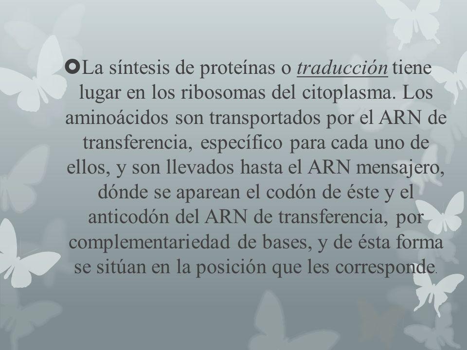 La síntesis de proteínas o traducción tiene lugar en los ribosomas del citoplasma. Los aminoácidos son transportados por el ARN de transferencia, espe