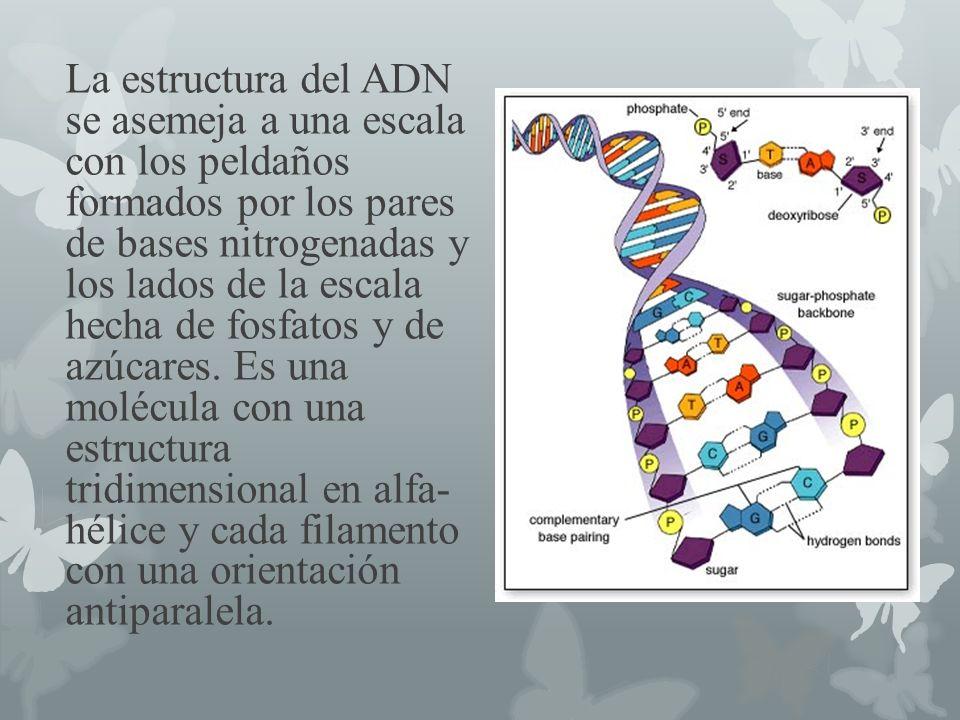 La estructura del ADN se asemeja a una escala con los peldaños formados por los pares de bases nitrogenadas y los lados de la escala hecha de fosfatos