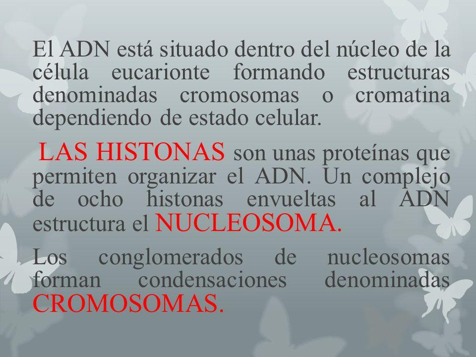 Cuando la célula no se está dividiendo, el material cromosómico se encuentra libremente formando la cromatina.
