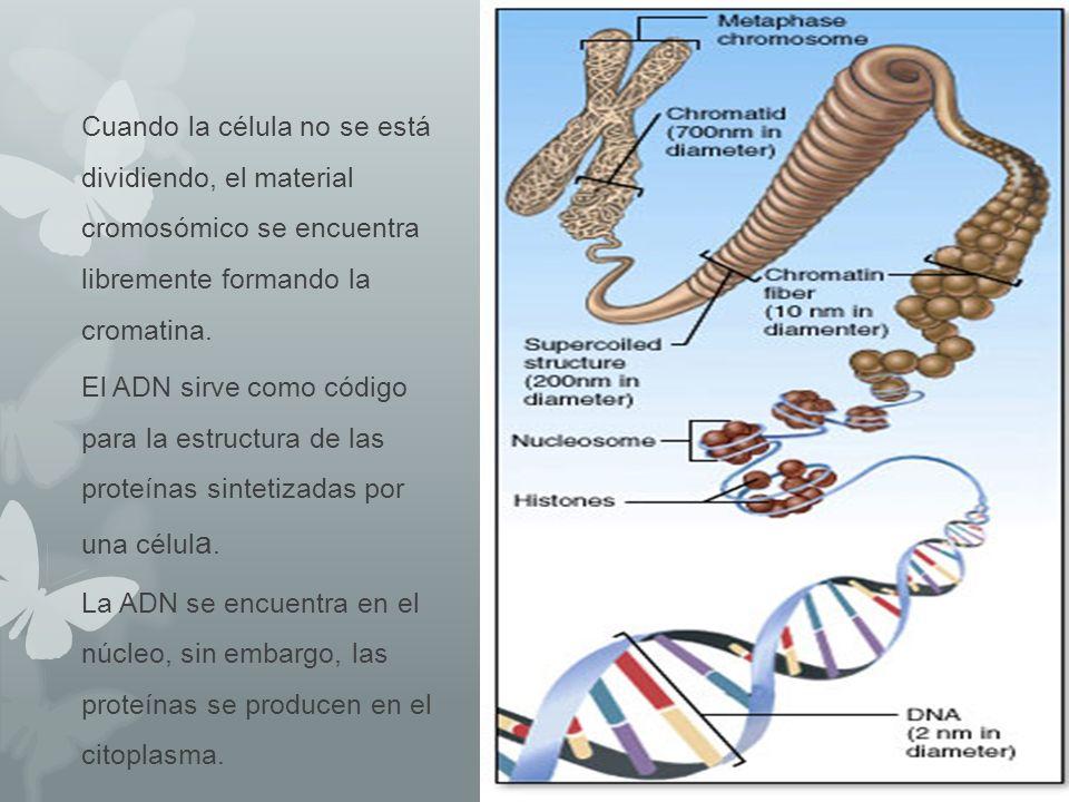 Cuando la célula no se está dividiendo, el material cromosómico se encuentra libremente formando la cromatina. El ADN sirve como código para la estruc