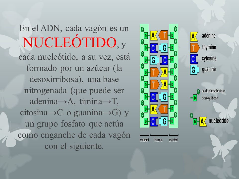 En el ADN, cada vagón es un NUCLEÓTIDO, y cada nucleótido, a su vez, está formado por un azúcar (la desoxirribosa), una base nitrogenada (que puede se
