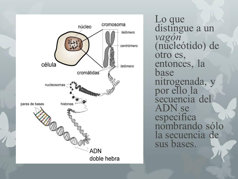 Lo que distingue a un vagón (nucleótido) de otro es, entonces, la base nitrogenada, y por ello la secuencia del ADN se especifica nombrando sólo la se