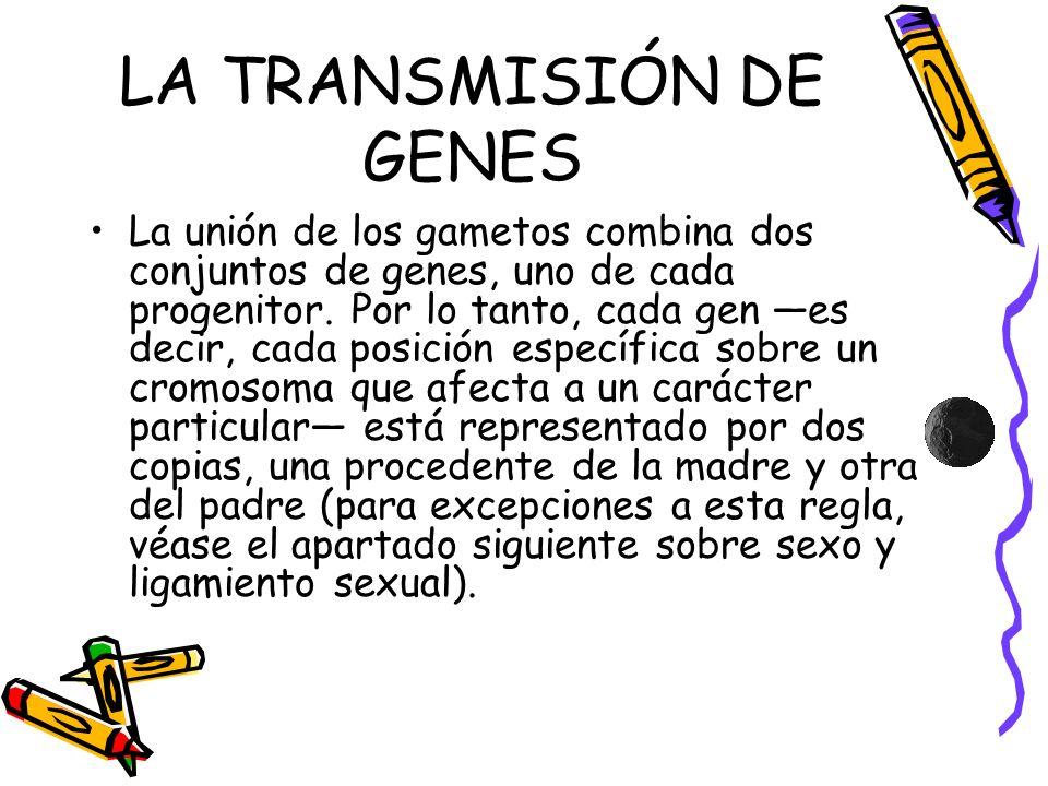 LA TRANSMISIÓN DE GENES La unión de los gametos combina dos conjuntos de genes, uno de cada progenitor. Por lo tanto, cada gen es decir, cada posición