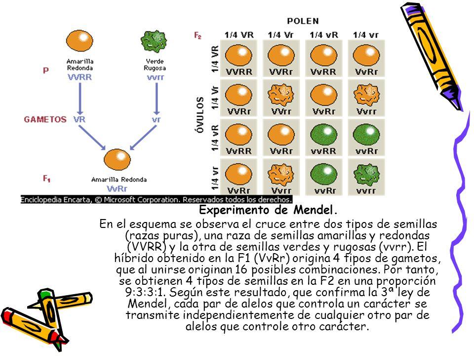 Experimento de Mendel. En el esquema se observa el cruce entre dos tipos de semillas (razas puras), una raza de semillas amarillas y redondas (VVRR) y