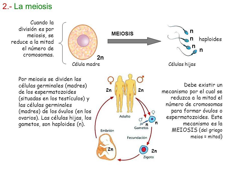 2.- La meiosis MEIOSIS 2n n n n n haploides Por meiosis se dividen las células germinales (madres) de los espermatozoides (situadas en los testículos)