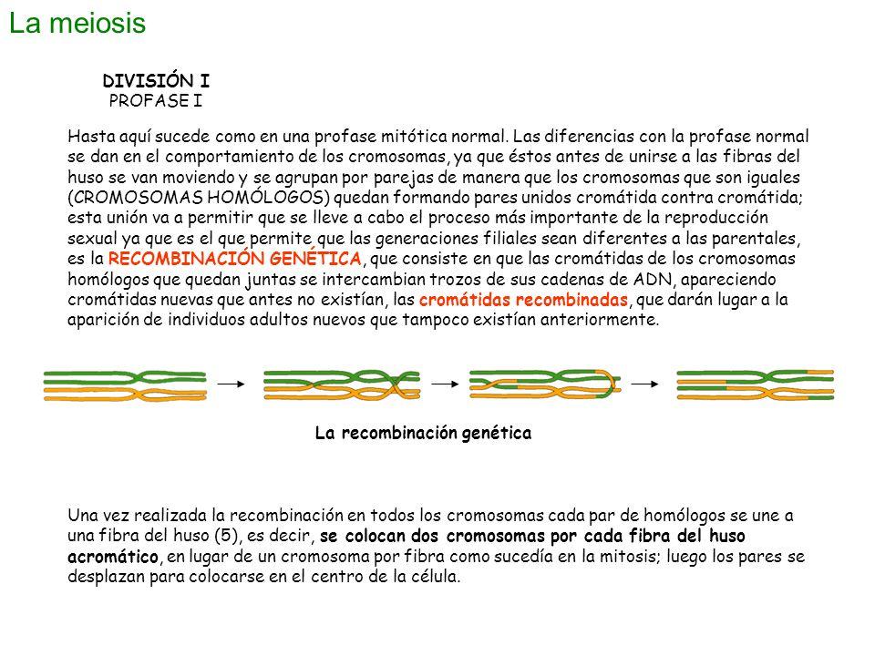 La meiosis DIVISIÓN I PROFASE I Hasta aquí sucede como en una profase mitótica normal. Las diferencias con la profase normal se dan en el comportamien