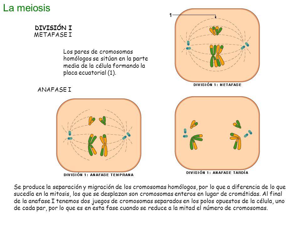 La meiosis DIVISIÓN I METAFASE I Los pares de cromosomas homólogos se sitúan en la parte media de la célula formando la placa ecuatorial (1). ANAFASE