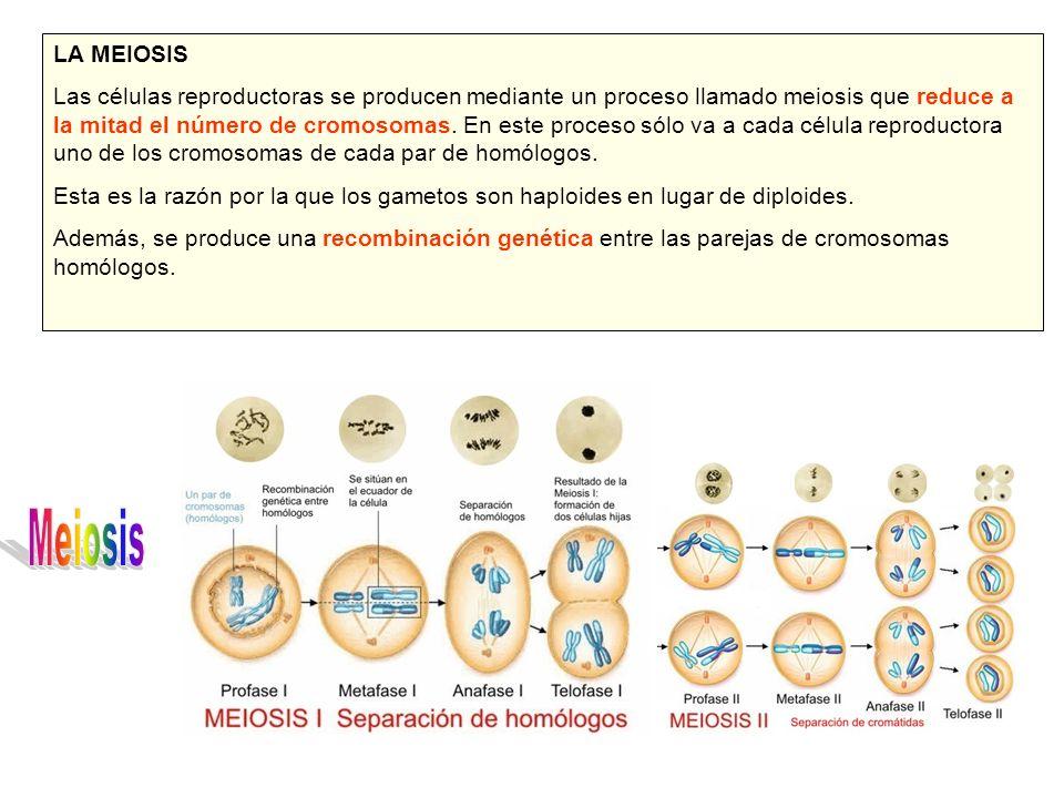 LA MEIOSIS Las células reproductoras se producen mediante un proceso llamado meiosis que reduce a la mitad el número de cromosomas. En este proceso só