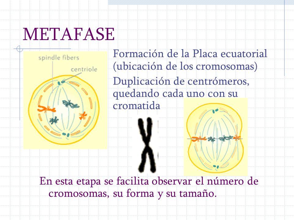 METAFASE Formación de la Placa ecuatorial (ubicación de los cromosomas) Duplicación de centrómeros, quedando cada uno con su cromatida En esta etapa s