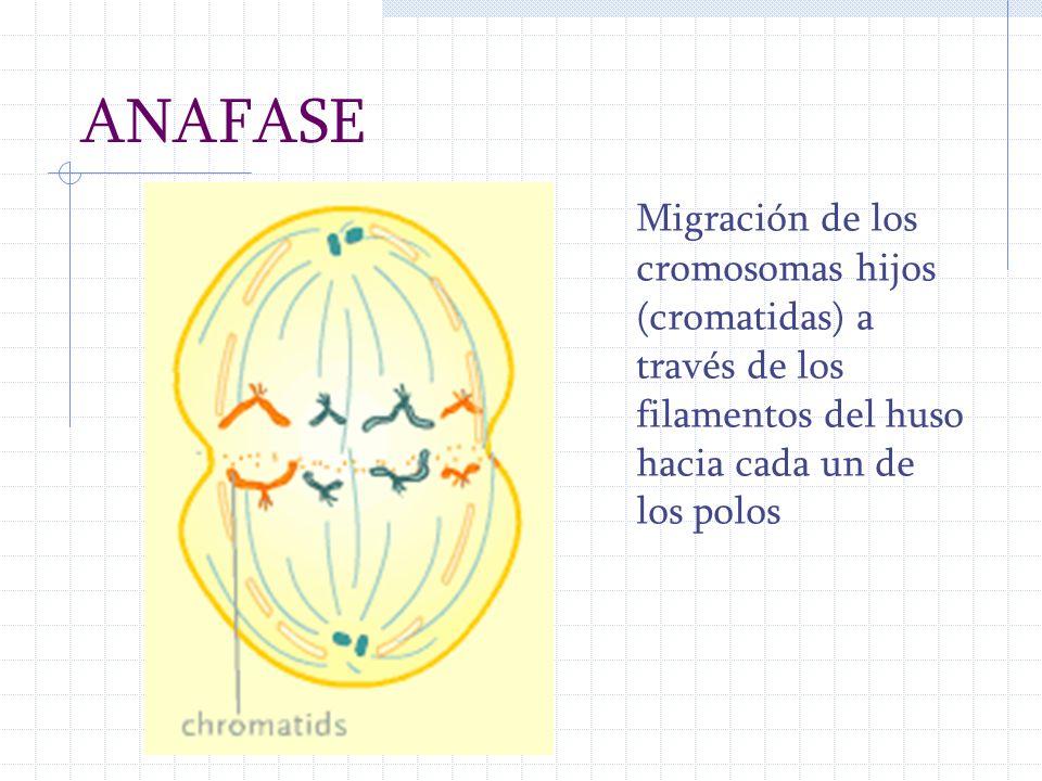 ANAFASE Migración de los cromosomas hijos (cromatidas) a través de los filamentos del huso hacia cada un de los polos