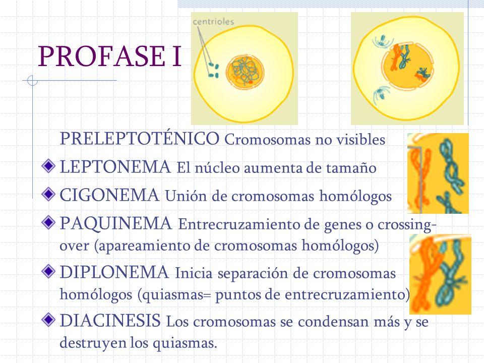 PROFASE I PRELEPTOTÉNICO Cromosomas no visibles LEPTONEMA El núcleo aumenta de tamaño CIGONEMA Unión de cromosomas homólogos PAQUINEMA Entrecruzamient