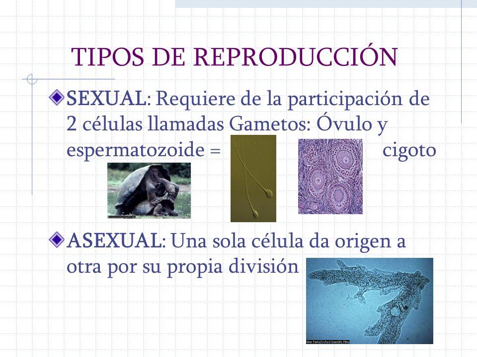 TIPOS DE REPRODUCCIÓN SEXUAL: Requiere de la participación de 2 células llamadas Gametos: Óvulo y espermatozoide =cigoto ASEXUAL: Una sola célula da o