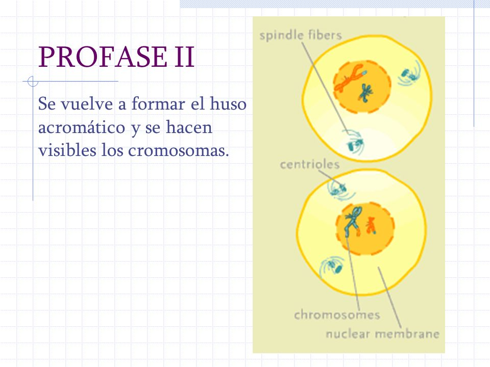 PROFASE II Se vuelve a formar el huso acromático y se hacen visibles los cromosomas.