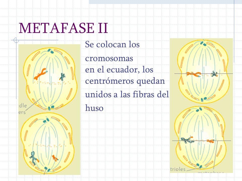 METAFASE II Se colocan los cromosomas en el ecuador, los centrómeros quedan unidos a las fibras del huso